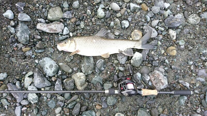 津久井湖でのニゴイの釣果