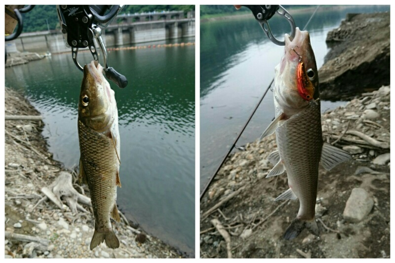 ルアーで釣れたニゴイ二匹
