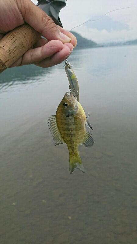 シンキングスイッシャーで釣れたブルーギル