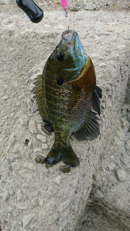 スプーンで釣れたブルーギル